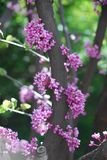 Cherry Bloom stockfoto