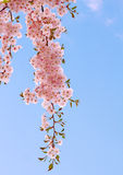 Cherry bloom. Japanese cherry tree with pink delicate flowers in springtime stock photos