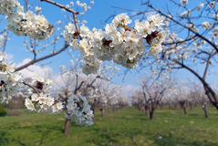 Cherry in bloom Stock Photos