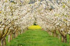 Cherry Bloom Stock Photos