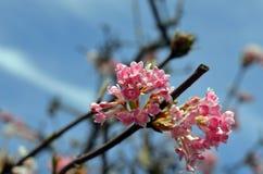 Cherry Bloom Royalty-vrije Stock Afbeeldingen