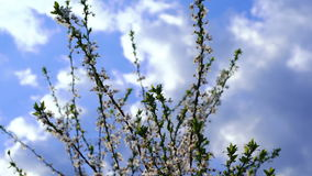 Cherry In Bloom stock footage
