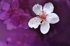 Cherry Bloom Image stock