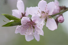 Cherry bloom. Pink spring flowers - cherry bloom royalty free stock photos