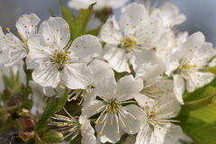 Cherry bloom. Solar cherry bloom macro Royalty Free Stock Photo