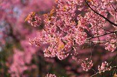 Cherry Bloom Lizenzfreies Stockfoto