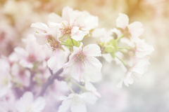 Cherry Bloom Lizenzfreie Stockbilder