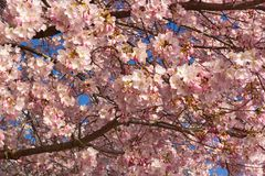 Bloom peak with hues of pink and white against a blue sky. Cherry bloom abundance in Washington DC, USA royalty free stock photo