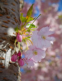 Cherry-bloom and buds. Cherry-tree in spring with bloom and buds royalty free stock images