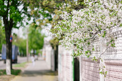 Cherry bloom in city Royalty Free Stock Images
