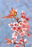 Cherry Bloom himalayano selvaggio, fiore rosa Fotografia Stock Libera da Diritti