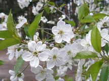 Cherry bloom royalty free stock photography
