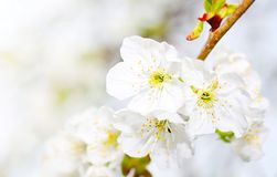 Cherry bloom Stock Photography