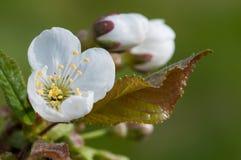 Cherry bloom Royalty Free Stock Photo