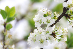 Cherry bloom. Many of cherry blooms on branch Stock Images