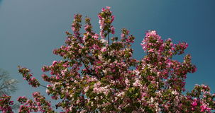 The cherry bloom plant waving on the breeze of the wind 4K FS700 Odyssey 7Q Royalty Free Stock Image