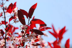 cherry bloomig Fotografia Royalty Free