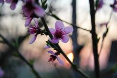 Cherry Blooming bij Zonsondergang royalty-vrije stock foto's