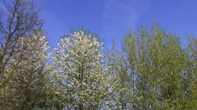 Cherry Blooming With Blue Sky blanco en primavera Imágenes de archivo libres de regalías