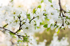 Cherry blooming branch tree in garden Stock Photos