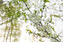Cherry blooming branch tree in garden Royalty Free Stock Image