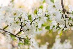 Cherry blooming branch tree in garden Stock Photography