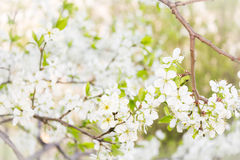 Cherry blooming branch tree in garden Stock Images