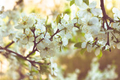 Cherry blooming branch tree in garden Royalty Free Stock Photography