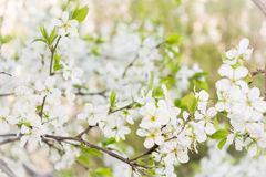 Cherry blooming branch tree in garden Royalty Free Stock Photos