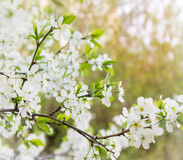 Cherry blooming branch tree in garden Stock Photo