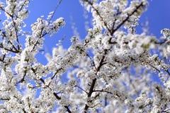 Cherry blooming Stock Photos