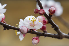 Cherry blooming. Close up photo of a cherry blooming in spring Royalty Free Stock Images
