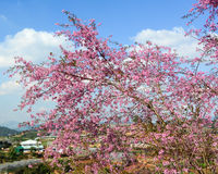 Cherry blooming in Dalat, Vietnam Royalty Free Stock Image