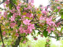 Cherry blooming, full bloom, macro photography. Cherry blooming, full bloom n the tree, macro photography stock image