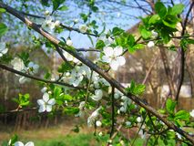 Cherry blooming, full bloom on the tree, macro photography. Cherry blooming full macro tree photography stock images