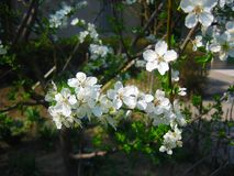 Cherry blooming, full bloom on the tree, macro photography. Cherry blooming full macro tree photography stock photography