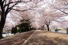 Cherry Blooming i Sydkorea under vårsäsong Arkivfoton