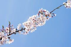 Cherry Blooming i Sydkorea under vårsäsong Arkivbild