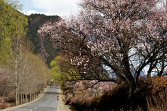 Cherry Blooming, Nyingchi, Thibet Photos libres de droits