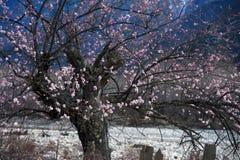 Cherry Blooming,Nyingchi,Tibet royalty free stock image