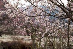 Cherry Blooming,Nyingchi,Tibet stock photo