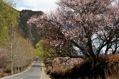 Cherry Blooming,Nyingchi,Tibet royalty free stock photos