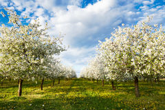 Cherry blooming orchard with dandelions Royalty Free Stock Photography