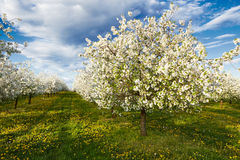 Cherry blooming orchard with dandelions Royalty Free Stock Images