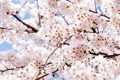 Cherry Blooming in Südkorea während der Frühlings-Saison Lizenzfreie Stockfotos