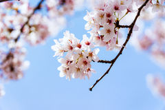 Cherry Blooming in South Korea during spring season Royalty Free Stock Photos