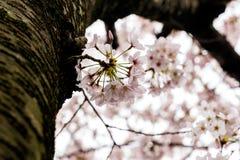 Cherry Blooming in South Korea during spring season Stock Photos