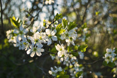 Cherry blooming. Cherry blooming in the spring Stock Images