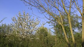Cherry Blooming In Springtime blanco Fotos de archivo libres de regalías
