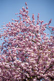 Cherry blooming Royalty Free Stock Photography